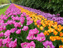 szczegółowy rysunek kwiecisty pochodzenie wektora Czerwoni tulipany Zdjęcie Royalty Free