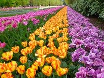 szczegółowy rysunek kwiecisty pochodzenie wektora Czerwoni tulipany Obraz Royalty Free