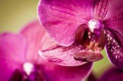 Szczegół phalaenopsis orchidea Zdjęcia Royalty Free