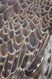 Szczegół ptasi piórka Zdjęcie Royalty Free
