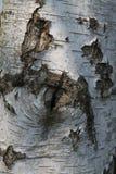 Szczegół Srebnej brzozy drzewo Zdjęcie Royalty Free