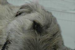 Szczegół twarz odpoczynkowy irlandzki wolfhound obrazy stock