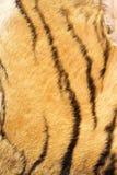 Szczegół tygrysi realów lampasy na futerku Fotografia Royalty Free