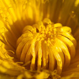 Szczegółu dandelion Fotografia Royalty Free