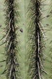 szczegółu kaktusowy saguaro Obrazy Royalty Free