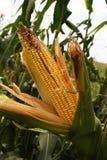 szczegółu kukurydzany pole Obraz Royalty Free