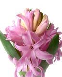 szczegółu kwiatu hiacyntu menchie Zdjęcia Stock