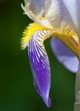 szczegółu kwiatu niemiecki irys Obraz Royalty Free