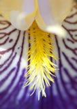 szczegółu kwiatu niemiecki irys zdjęcie stock