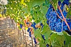 szczegółu winogron wino Zdjęcia Royalty Free