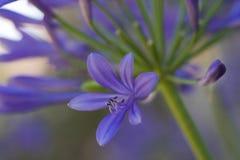 Szczegóły agapanthus w kwiacie Zdjęcia Royalty Free
