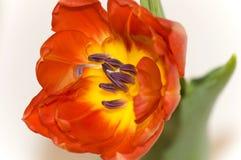 szczegóły czerwony tulipan Zdjęcia Royalty Free