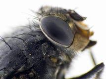 Szczegóły komarnica Fotografia Royalty Free