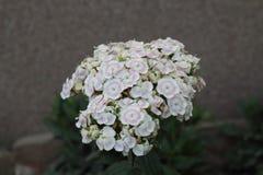 Szczegóły mali biali kwiaty Zdjęcia Royalty Free