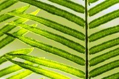 szczegóły paproci green Obrazy Stock
