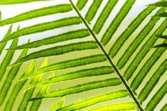 szczegóły paproci green Obraz Royalty Free