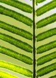 szczegóły paproci green Fotografia Royalty Free