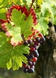 szczegóły purpurowe winogron Zdjęcia Stock