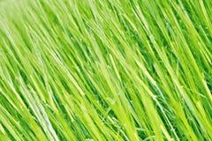 Szczegół zieleni pole Zdjęcia Royalty Free