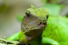 szczegół zielona jaszczurka Fotografia Stock