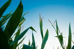 Szczegół zielona kukurudza z niebieskim niebem w tle Zdjęcie Stock
