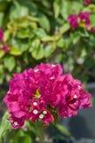 Szczególny kwiatu bougainvillea Zdjęcie Stock