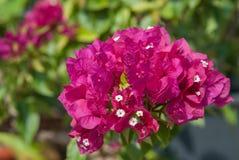 Szczególny kwiatu bougainvillea Zdjęcia Stock