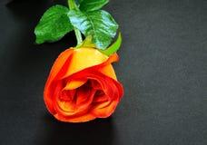 szczegóły czerwona róża Fotografia Stock