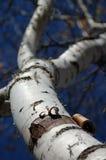 szczekać ogniska brzozy wąskim obieranie fotografia stock