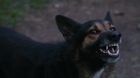 Szczekać rozjuszony pasterski pies outdoors zbiory