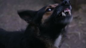 Szczekać rozjuszony pasterski pies outdoors zdjęcie wideo
