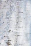 szczekać blisko brzozy tekstury widok Zdjęcia Royalty Free