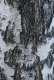 szczeka? blisko brzozy tekstury widok Naturalny t?o: brzozy barkentyna, u?ywa dla ilustracji, dekoracyjni wzory, tkanina druki zdjęcie stock