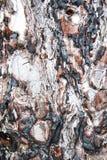 szczeka tekstury drzewa Zdjęcie Stock