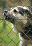 Szczekliwy dogg za ogrodzeniem Fotografia Royalty Free