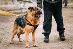 Szczekliwy Gniewny Niemieckiej bacy wilka Alzacki pies Na szkoleniu obraz royalty free