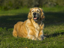 szczekliwy golden retrievera Zdjęcia Royalty Free