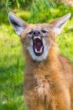 Szczekliwy grzywiasty wilk Obrazy Royalty Free