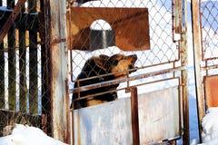 Szczekliwy pies za metalu ogrodzeniem ponieważ czuje zagraża zdjęcia stock
