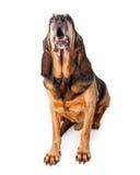 Szczekliwy Wielki Bloodhound pies Zdjęcie Royalty Free