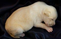 szczeniaków nowonarodzeni sen Zdjęcie Royalty Free