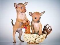 szczeniaków rosyjska teriera zabawka fotografia royalty free