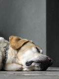 szczeniak śpiący Zdjęcie Royalty Free