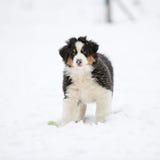 Szczeniak australijska baca w zimie Zdjęcia Royalty Free
