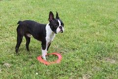 Szczeniak bawić się na trawie - Boston Terrier Zdjęcie Royalty Free