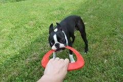 Szczeniak bawić się na trawie - Boston Terrier Fotografia Royalty Free