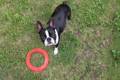 Szczeniak bawić się na trawie - Boston Terrier Obrazy Royalty Free