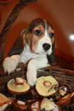 Szczeniak beagle pies Obrazy Royalty Free