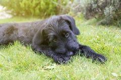 Szczeniak Gigantyczny Czarny Schnauzer pies Zdjęcie Royalty Free
