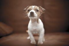 Szczeniak Jack Russell Terrier Zdjęcie Stock